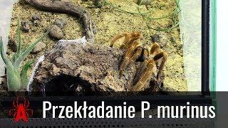 TERRARIUM BIOTOPOWE dla dorosłej samicy P. murinus usambara
