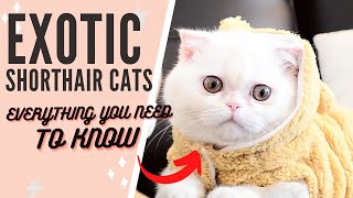 The Exotic Shorthair Cat 101 : Breed & Personality
