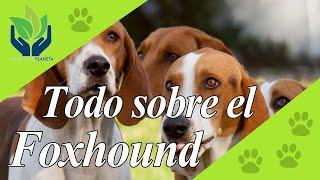 Foxhound Inglés, todo sobre este increíble Perro