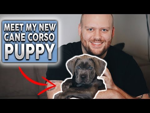 MY NEW CANE CORSO PUPPY! How To Survive The First Day With a Puppy!