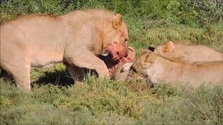 Lions stalk and catch Warthog then eat it ALIVE!!!