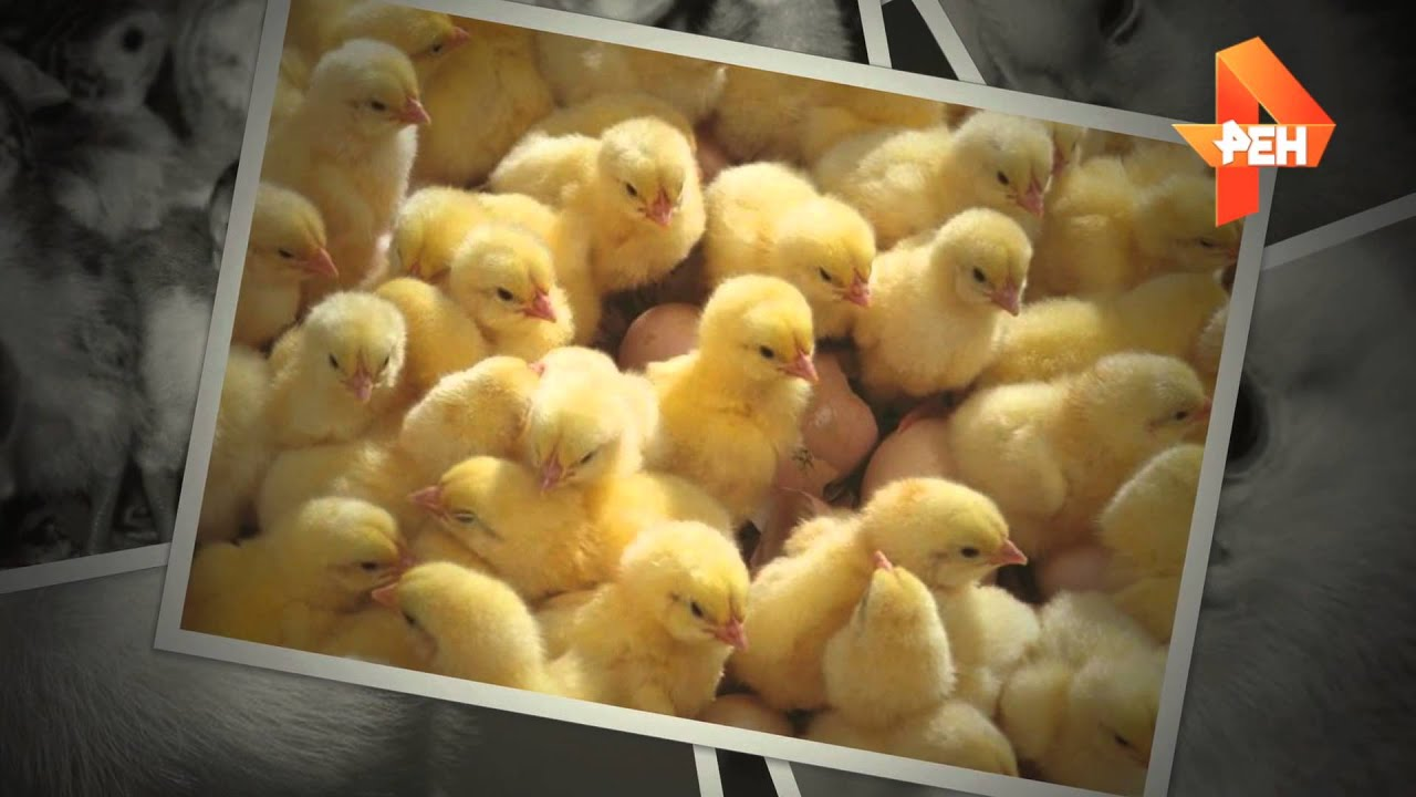 Волгодонск, с полным циклом производства мяса птицы: здание абк: 253,4 м2, инкубатор: 5 машин универс. Ладожский инкубаторкомплект ( краснодарский край) предлагает предновогодние супер скидки, действующие до конца декабря: три комплекта по. Где купить домашний инкубатор на 36.