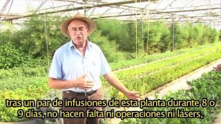 Lepidium Latiflolium CASTELLANO
