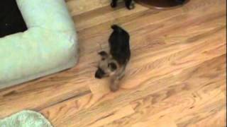 7 Week Old Australian Terrier Puppies