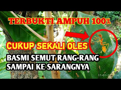 TERBUKTI !!! Cara Paling Ampuh Membasmi Semut Rangrang/Angkrang Sampai Ke Sarangnya - AgroPark