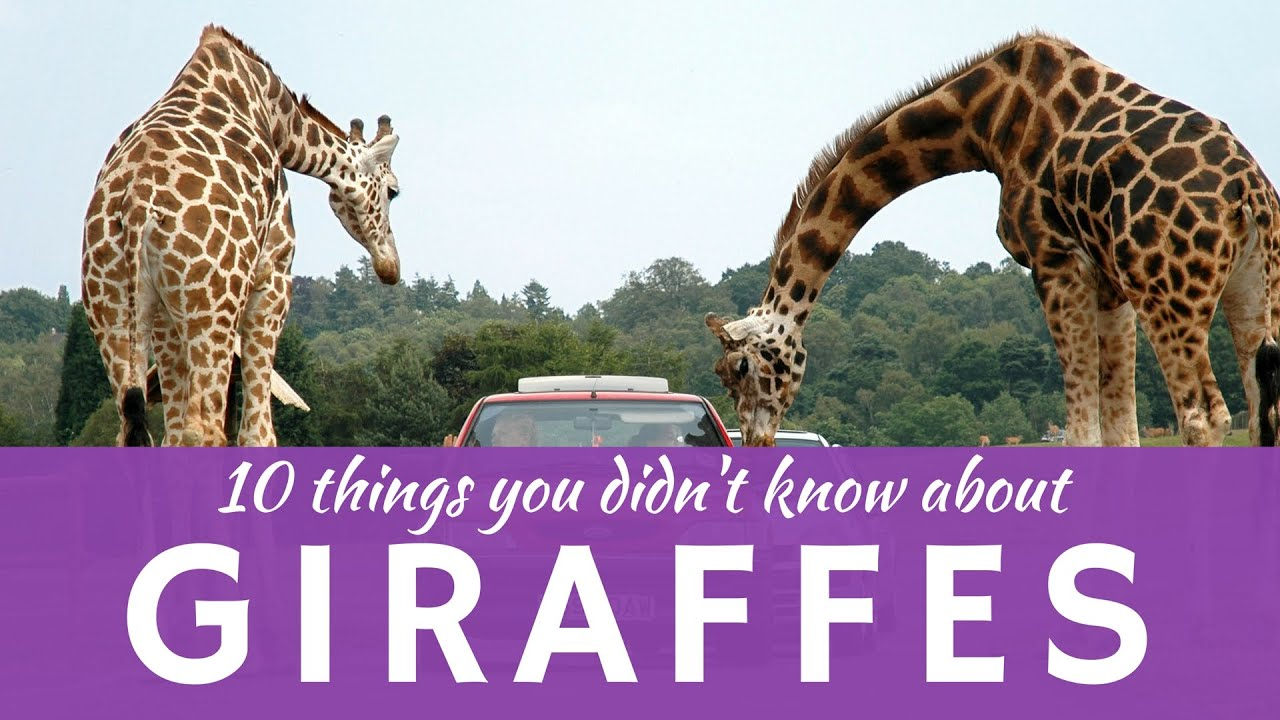 10 fun facts about GIRAFFES (presentation of the tallest animals ...