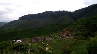120830: Tea tree field, Malaysia