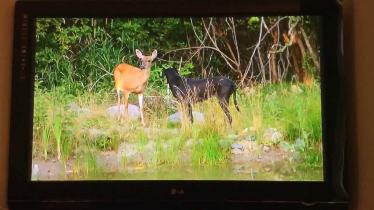 Animal Odd Couples Youtube animal odd couples | pippin the deer and kate the great dane