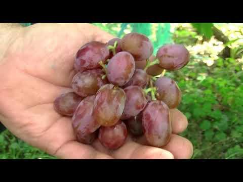 Виктория,виноград для начинающих.