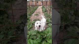 Собаки питомника Миф Марны