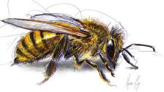 Honey Bee (original timelapse sketch)