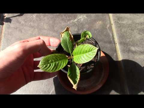 Kratom Plant Update - April 2015