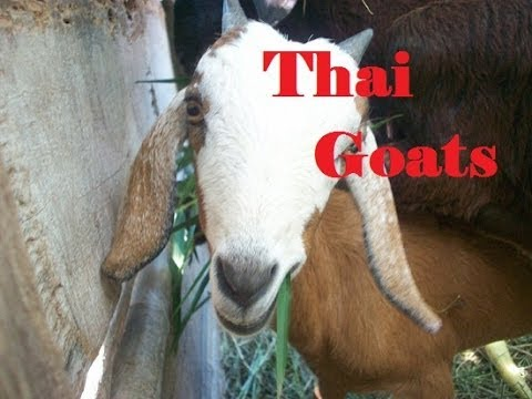 Thai Goats go a ride