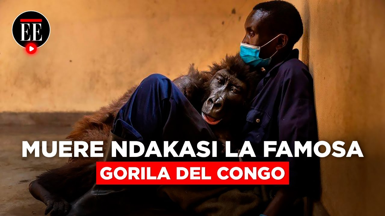 La gorila Ndakasi muere en brazos de su cuidador