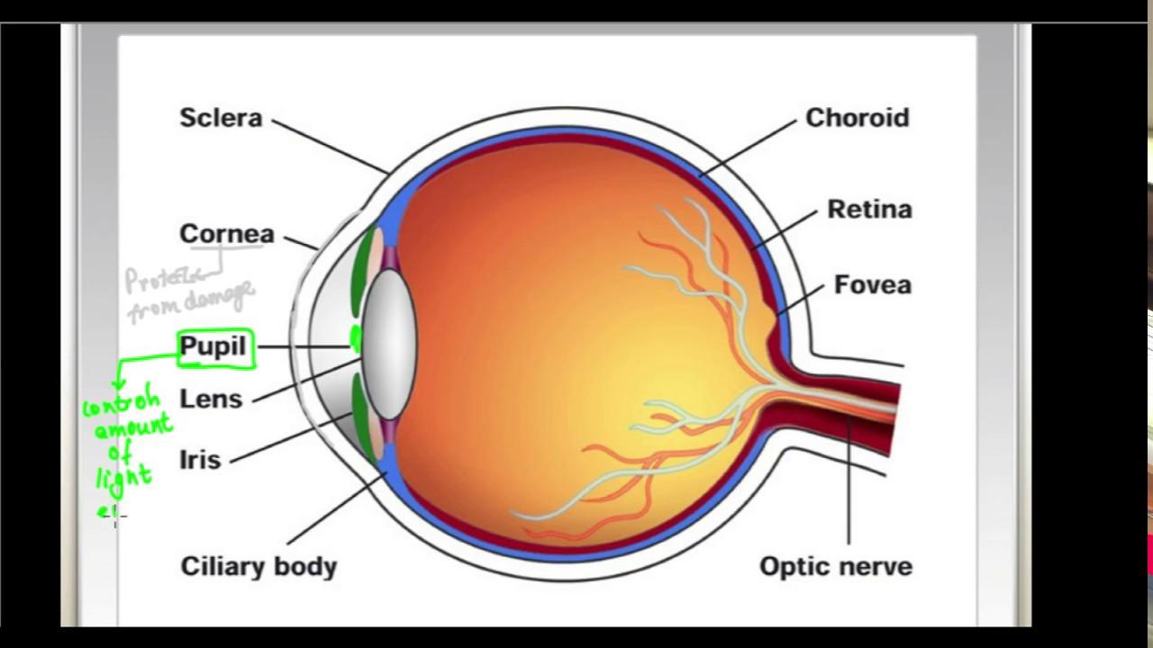 CLASSNOTES: Notes Of Physics Class 10 Human Eye