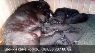 Щенки кане корсо. Cane Corso Puppies