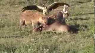 Hyenas & Vultures