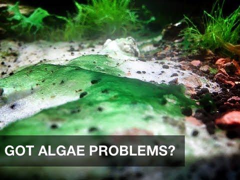 Got Algae Problems In Your Aquarium Try This Safe And Simple