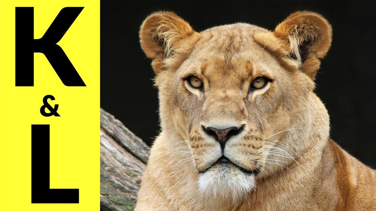 Animals Starting with K & L - Learn Animal Words That Start With Letters K and L