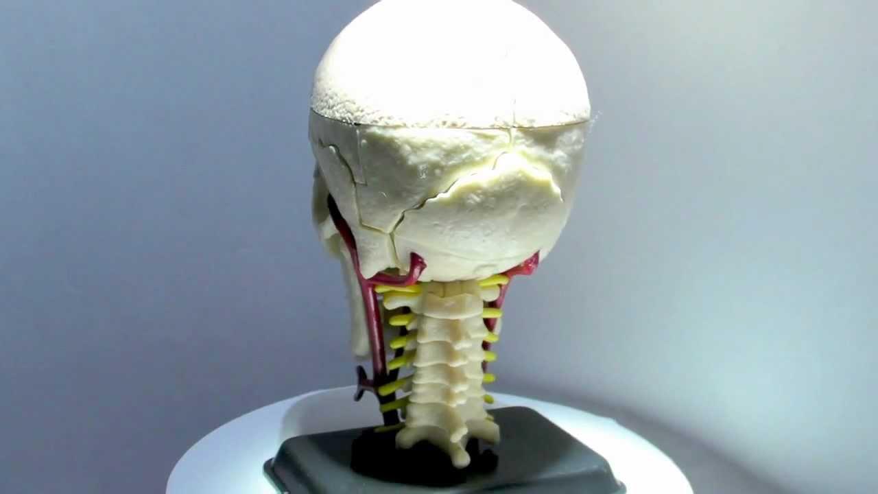 Eduplay Anatomie Schädel-Modell mit Nerven - YouTube