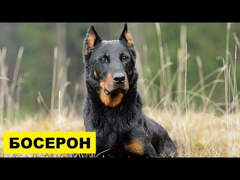 Собака Босерон описание плюсы и минусы породы | Собаководство | Порода собак Босерон