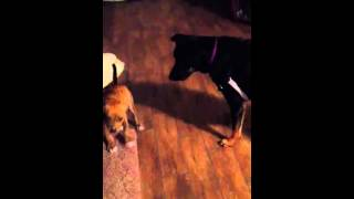 Plott Hound Puppy And Rottie Mix Playing