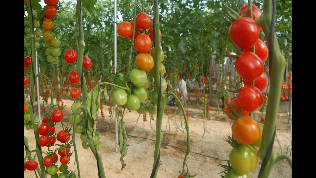 Sistemas De Siembra Para Tomate En Invernadero Tvagro Por Juan Gonzalo Angel Youtube