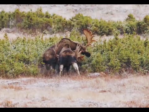 Awesome, Amazing, Huge Bull Moose Fight/Battle!!