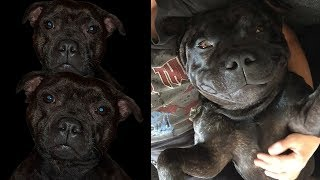 Staffies.. It's all about them