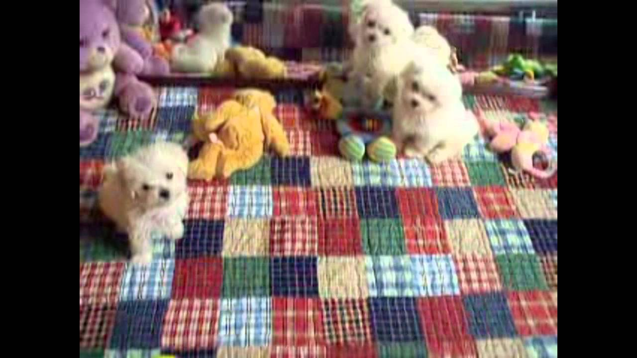 White Teacup Maltipoo Puppies For Sale Youtube