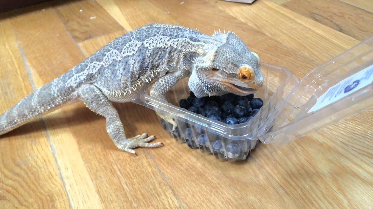 Bearded Dragon eats Blueberries - YouTube