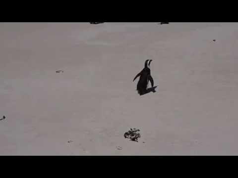 Jackass Penguin @ Boulders Penguin Colony, South Africa