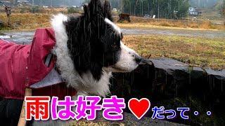 我が家の癒し系愛犬ハリーくんはお散歩超大好き!雨の日もいや台風でさ...