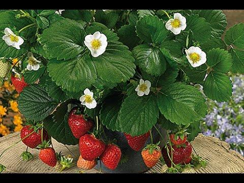 comment planter et entretenir vos fraisiers doovi. Black Bedroom Furniture Sets. Home Design Ideas