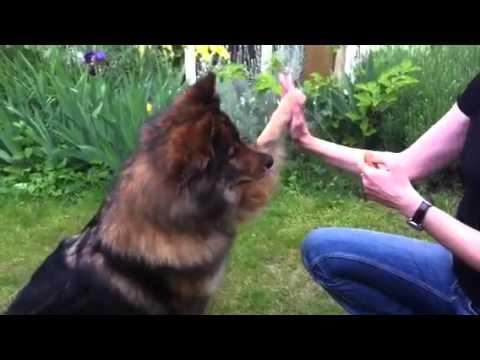 Marcus the Eurasier Dog | Doovi