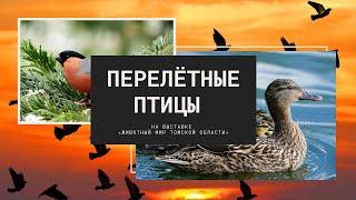 Перелётные птицы. Познавательное видео на выставке «Животный мир Томской области».