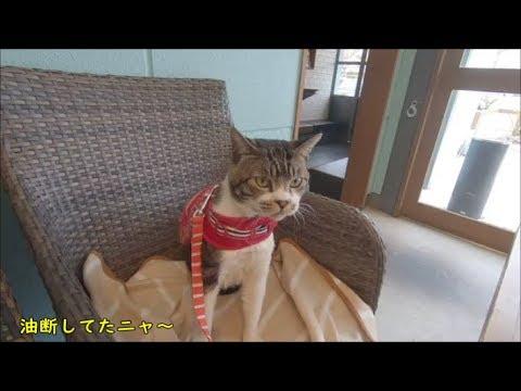 猫と一緒にペット同伴OKなカフェへ☆いい匂いがどこからするのか見つけれないリキちゃん☆帆季珈琲テラス【リキちゃんねる 猫動画】Cat video キジトラ猫との暮らし