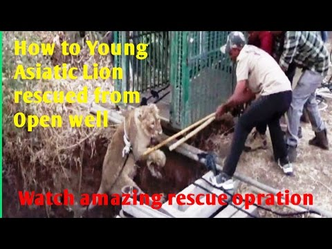 बब्बर शेर का दिल धड़क रेस्क्यू ऑपरेशन How to Young Asiatic Lion rescued from Open well