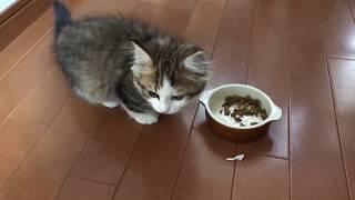 食後の子猫の癖がかわいい