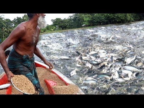 Pangasius Fish Feeding In Pound | Fish Farming Business In Bangladesh Near India | Wild Fish Hunting