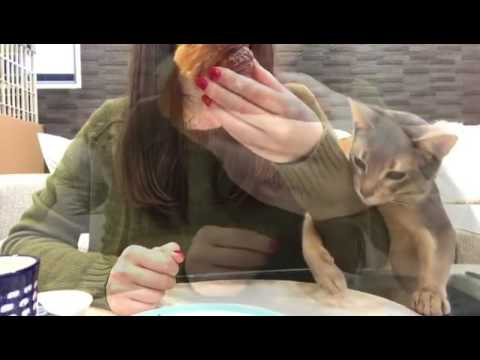 Cat really wants croissant