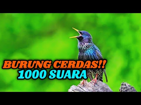 Jalak Eropa Burung Pintar Peniru  Suara (Sturnus Vulgaris)