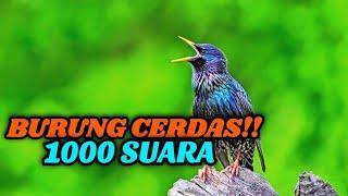 Jalak Eropa Burung Pintar Peniru Suara Sturnus Vulgaris