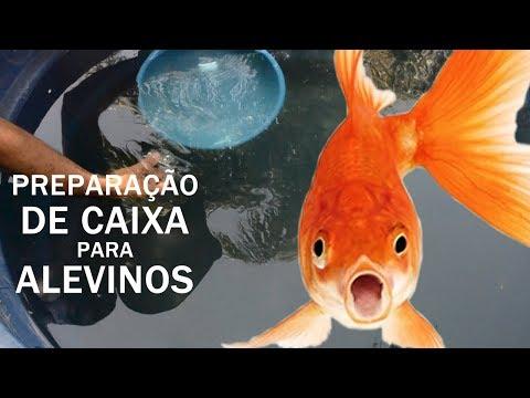 PREPARAÇÃO DE CAIXA PARA ALEVINOS DE KINGUIOS Canal Saalada