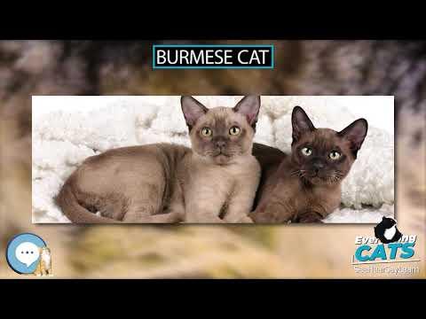Burmese cat 🐱🦁🐯 EVERYTHING CATS 🐯🦁🐱