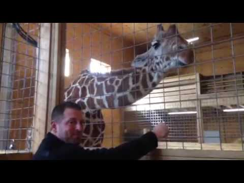 Thumbnail: April the Giraffe; Expecting a Baby - Soon!