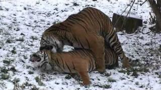 Tiger's matting. Тигры - брачный день!
