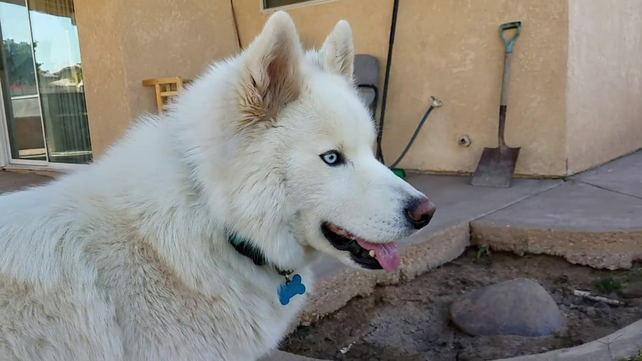 All White Siberian Husky And White Labrador Mix How Bowie And