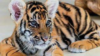 Got a TIGER Cub instead of SAVANNAH Cat ! VERSACE  ARMANI