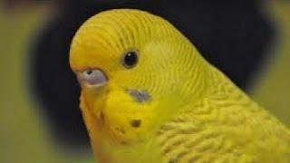 Содержание волнистого попугая дома